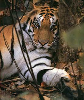 Viaggio nel paese delle tigri 17 giorni for Disegni delle tigri