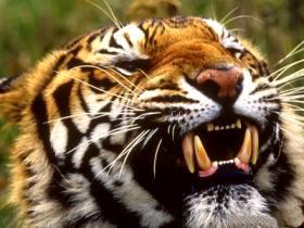 Wildlife tours india e nepal nel paese delle tigri for Disegni delle tigri