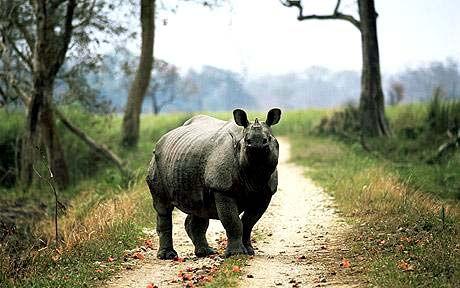 Rinoceronto unicorno, al parco Kaziranga, India