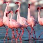Flamingo – Gujarat, India