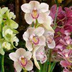 sikkim-orchidea