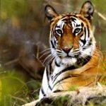 Tigre al parco Bandhavgarh, India