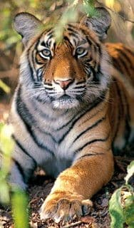 Tigre al parco di Kanha, India