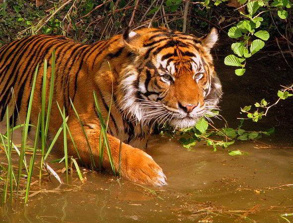 Tigre al parco di Sunderbans, India