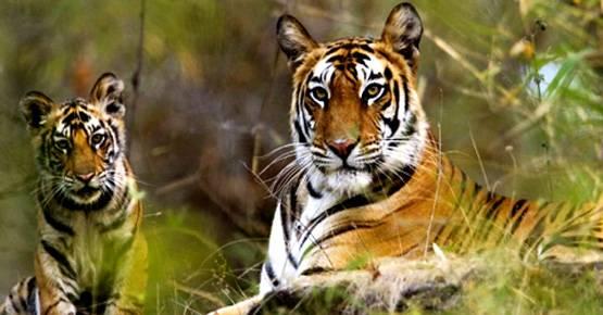 Tigre al parco Bandhavgarh, India - Viaggio sulle orme di Mowgli