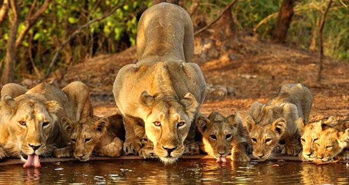 Leoni parco Sasan Gir, Gujarat - Viaggio India selvaggio nei parchi nazionali