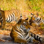 Tigri al Parco Nazionale Bandhavgarh – Madhya Pradesh, India
