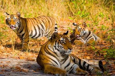 Tigri al Parco Nazionale Bandhavgarh - Madhya Pradesh, India