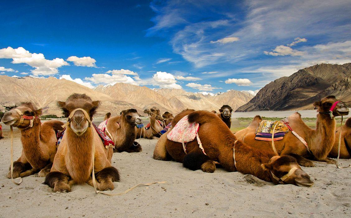 Cammelli valle di Nubra - Gran tour Punjab, Ladakh e Kashmir