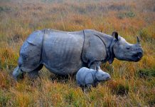Rinoceronti e tigri dell India