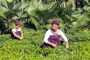 Singpho coltivazione tè - Viaggio tribale in Assam e Meghalaya, India